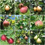 照片拼贴画:苹果和梨在树 图库摄影