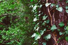 照片描述常春藤上升的植物神仙的美好的分支  免版税图库摄影
