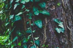 照片描述常春藤上升的植物神仙的美好的分支  图库摄影