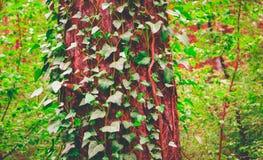 照片描述常春藤上升的植物神仙的美好的分支  免版税库存照片