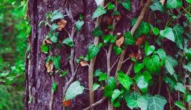 照片描述常春藤上升的植物神仙的美好的分支  免版税库存图片