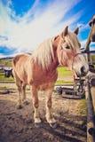 照片描述注视在a的美丽的可爱的棕色和白马 免版税图库摄影