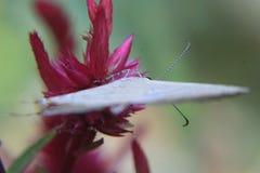 照片描述蝴蝶的异常的射击坐桃红色花 免版税图库摄影