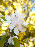 照片杏子开花/温带气候果树  库存图片