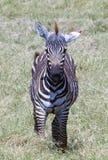 照片的年轻斑马姿势 免版税库存图片