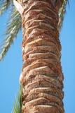 照片的枣椰子关闭 免版税库存照片