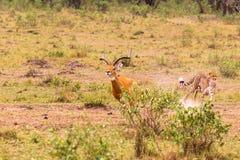 照片系列:大飞羚的猎豹狩猎 第十个情节 肯尼亚mara马塞语 免版税库存图片