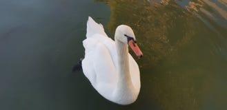 照片美丽的鸭子在湖 免版税图库摄影
