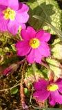 照片花紫色 免版税库存图片