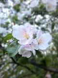 照片苹果开花/温带气候果树  库存图片