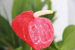 照片3 在一个罐的红色花在窗台 库存照片