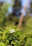 照片黑莓花 免版税库存图片