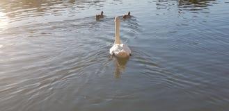 照片beautifull鸭子在湖 免版税图库摄影