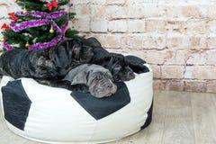 照片Mastino品种狗Neapolitana有一棵圣诞树 免版税库存图片