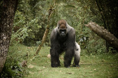 照相机充电的大猩猩 免版税库存图片