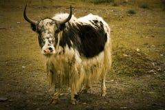 照相机凝视西藏牦牛 库存图片