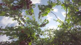 照相机围绕果树的分支 影视素材