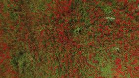 照相机在与红色花的领域上下降并且在他们上停止 影视素材