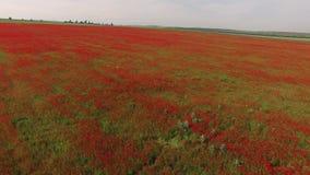 照相机在与红色花的领域下降 鸟` s眼睛视图 影视素材