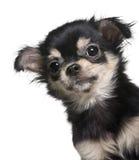 照相机奇瓦瓦狗接近的查找的小狗  免版税图库摄影