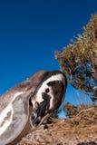 照相机好奇查找的企鹅 库存图片
