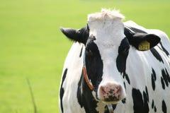 照相机母牛凝视 免版税库存照片