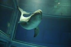 照相机海豚前微笑 免版税图库摄影