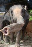 照相机特写镜头大象往 库存图片