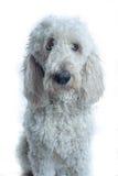 照相机狗看起来合适对白色 免版税库存图片