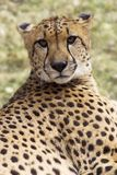 照相机猎豹凝视 库存图片
