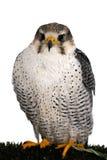 照相机的一只旅游猎鹰姿势 免版税库存照片