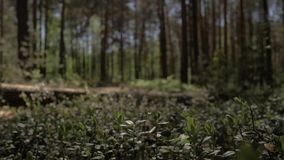 照相机移动今后在厚实的草在杉木森林4K里 股票视频