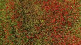 照相机移动在花的红色芽 鸟` s眼睛视图 股票录像