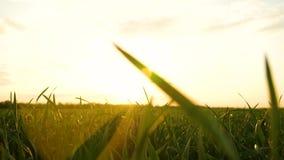 照相机移动在草词根之间 轻风摇摆草羽毛在阳光下在日落 股票视频