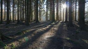 照相机运动alonga通过道路在一个云杉的森林里