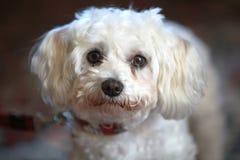 照相机逗人喜爱的狗看起来小的白色 免版税库存图片