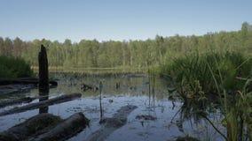 照相机降低在往一个干净的湖的沼泽地 4K 在长满的照相机飞行与青苔的注册 股票视频