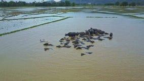 照相机飞行在沐浴在肮脏的水中的大水牛城牧群 影视素材