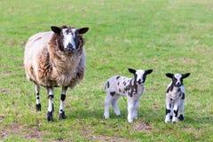 照顾与两只新出生的羊羔的绵羊在春天 库存照片