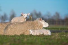 照顾与两只羊羔,说谎在她的一在她旁边和一的绵羊 免版税库存照片
