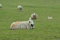 照顾与在充满橙色痛苦的一个绿色牧场地的羊羔的绵羊 免版税图库摄影