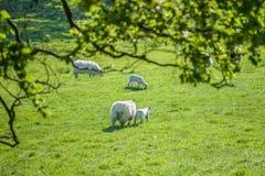 照顾与通过speing的绿色领域的新的borm羊羔的绵羊 复制 免版税库存图片