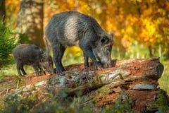 照顾与年轻人的公猪,搜寻在腐烂的木头 免版税图库摄影