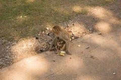 照顾与婴孩的在地面上的猴子和香蕉 免版税库存图片