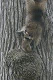 照顾与婴孩的浣熊,从树的监视的 免版税库存照片