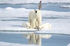 照顾北极熊和两崽在海冰 库存照片