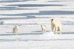 照顾北极熊和两崽在海冰 免版税库存图片
