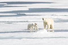 照顾北极熊和两崽在海冰 免版税库存照片