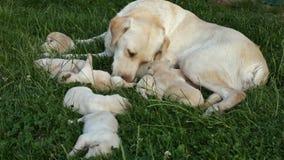 照顾她新出生的小狗的拉布拉多猎犬 影视素材