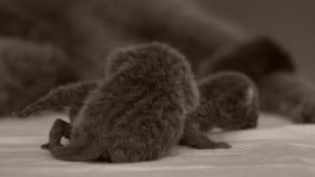 照顾她的小猫,新出生的英国Shorthair的妈妈猫 影视素材